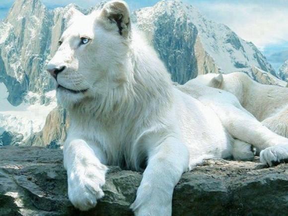 Ağ aslan