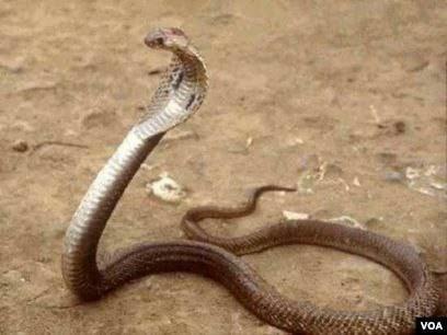 filippin kobrası